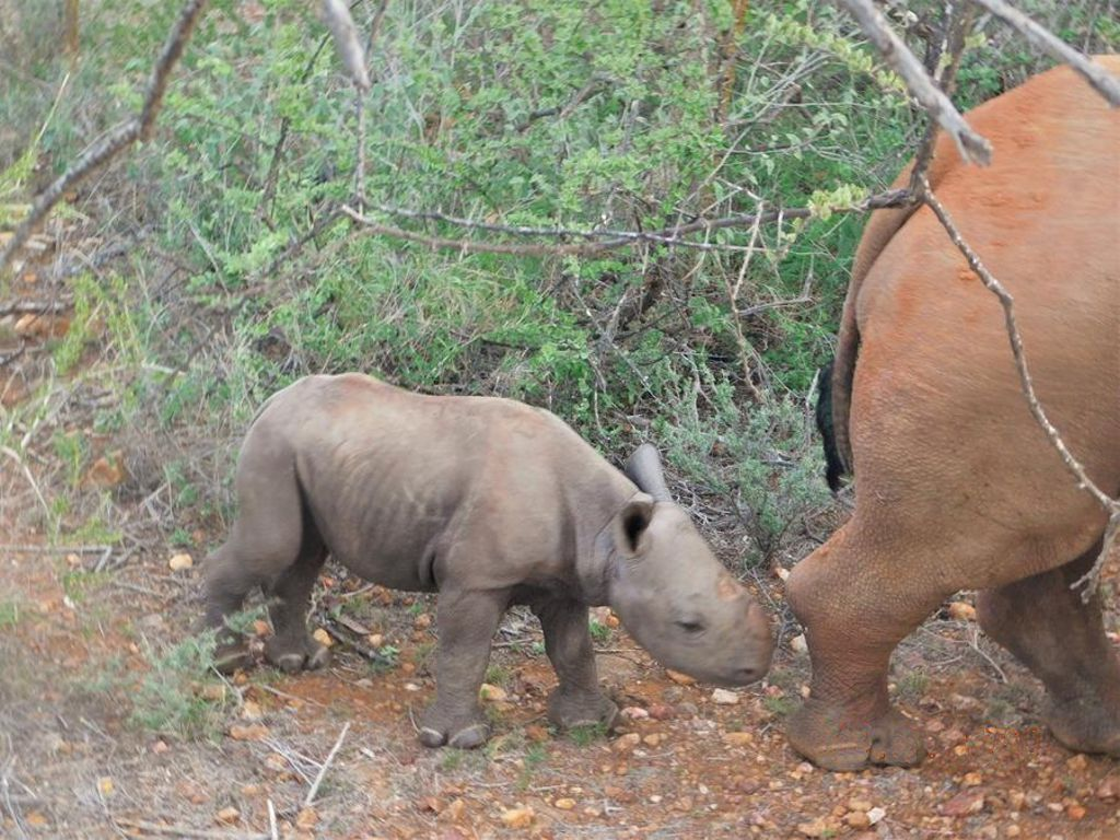 Baby rhino following its mother through the bush with it nose millimetres from her back leg.
